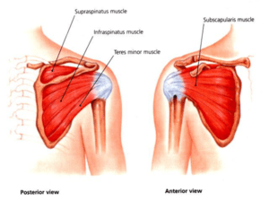 Rotator-Cuff-Diagram